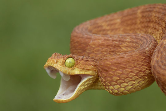 Venomous Bush Viper (Atheris squamigera) Snake Showing Aggression With Open Mouth