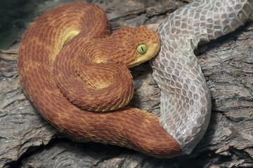 Venomous Male Bush Viper (Atheris squamigera) Snake shedding his skin