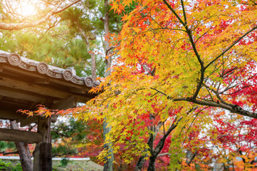Fototapete - colourful autumn leaf and temple roof in Kyoto, Japan.