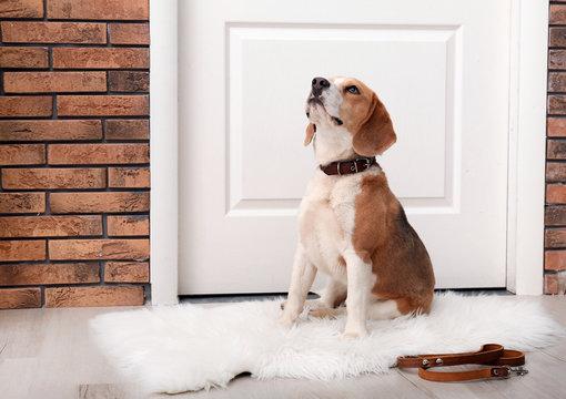 Cute Beagle dog sitting and leash on floor near door