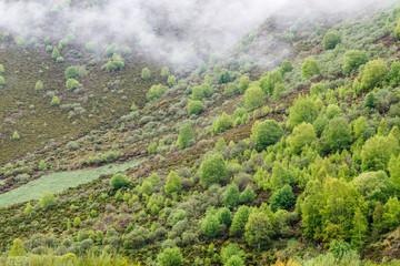 Paisaje de montaña con abedules y brezos en primavera. Betula pubescens, alba. Comarca de Laciana, León, España.