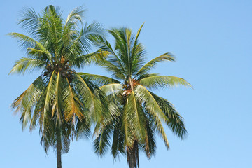 Couple coconut trees on clear blue sky