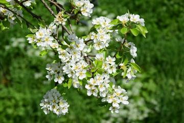 Blüten des Birnenbaumes