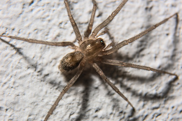 Home spider on the wall is macro