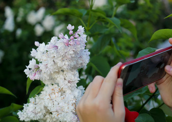 Beautiful purple lilac flowers in the city park. Lilac flowers on the branches and a smartphone.