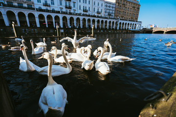 Group of mute swans in Alster lake near the Town Hall. Hamburg, Germany