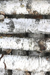 Birch logs in the autumn forest