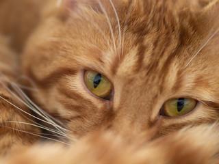 red cat, close-up