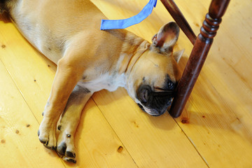A French bulldog lies on the floor in the house.