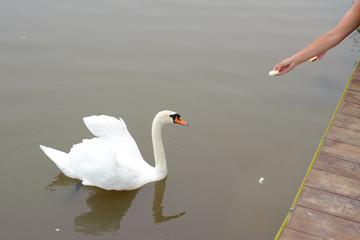 A female hand feeding a white swan in a pond.