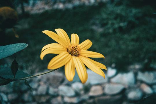 macro of an isolated yellow flower of helianthus tuberosus
