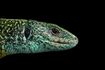 Green lizard isolated portrait