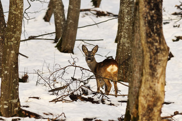 roe deer in winter natural habitat