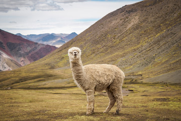 Poster Lama A lonely llama is standing on the plateau in the wild - Peru