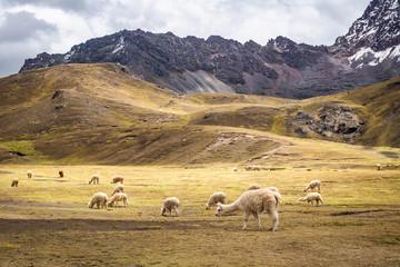 The wild alpacas in Rainbow Mountain - Peru