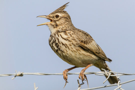 Crested Lark singing on the barbed wire near Skala Kalloni in Lesbos in Greece