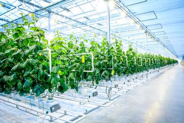 Fototapeta Green crop in modern greenhouse obraz