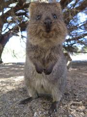 Happiest animal on earth-Quokka-Setonix brachyurus at Rottnest Island, Western Australia