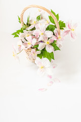 A romantic basket of beautiful white and pink clematis flowers with green shots. Copy space. White background.