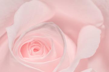 Liebliche rosa Rose