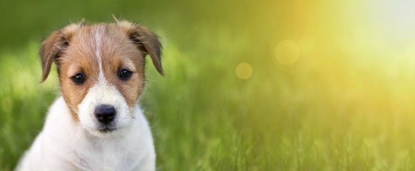 Web banner of a cute Jack Russell Terrier puppy dog as looking in the grass