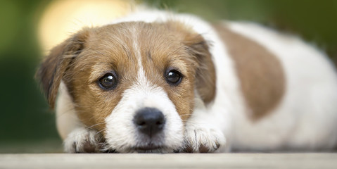 Dog love - web banner of a cute puppy as looking on the ground