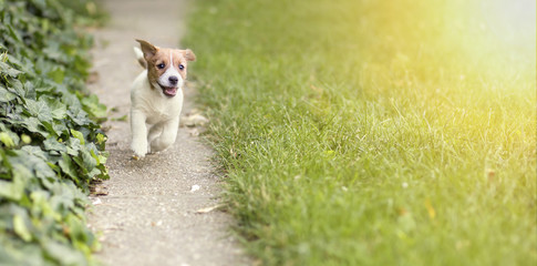 Happy Jack Russell Terrier puppy dog running to the camera