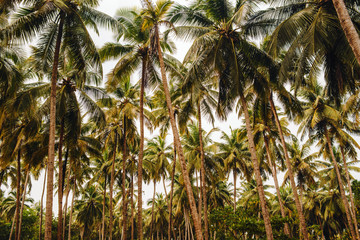 Coconut palm trees plantation in Thailand, yellow tone, perspective view