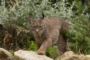 Poster Lynx Iberian Lynx portrait