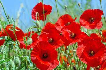 Photo sur Aluminium Rouge traffic Summer happiness, love of life: wonderful meadow with red poppies :)