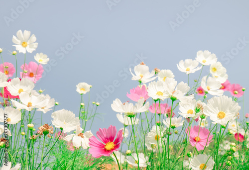 Wall mural Vintage tone beautiful cosmos flower in the field