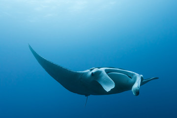 Manta ray flying by in cristal blue water