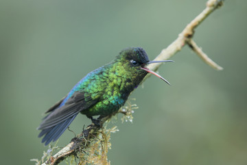 Fiery Throated Hummingbird perched in the rain with open mouth
