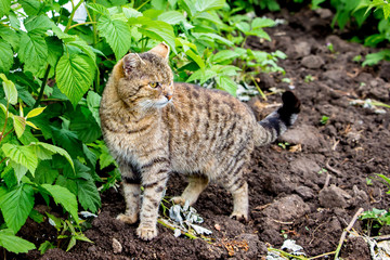 Cat among raspberry bushes. Hunter on hunting_