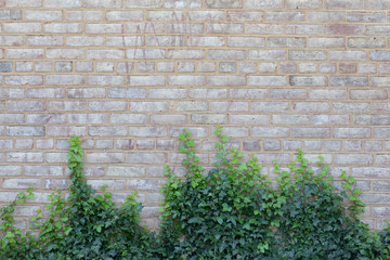 Light brick wall with green vines at growing up from bottom