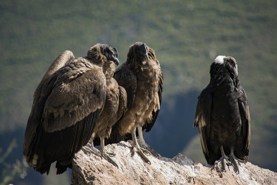 Three condors resting on a rock over the colca canyon (Peru)