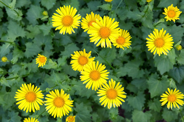 Kazulnik blooms in the garden. Floral background of yellow chamomiles