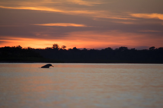 A pink river dolphin at dusk on the Amazon river