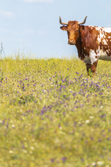 Beautiful cow with horns looking at camera on green field