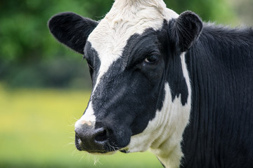 A close up of a black and white cow