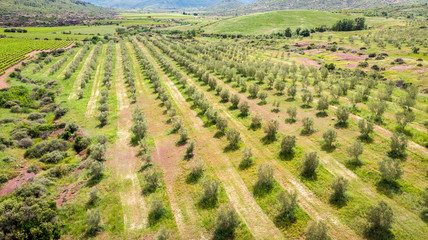 les lignes d'arbre d'une oliveraie