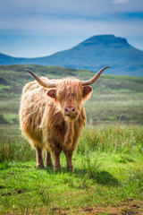 Fototapete - Green field and brown cow in Scotland, United Kingdom