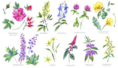 Watercolor summer set of medicinal flowers, Botany collection