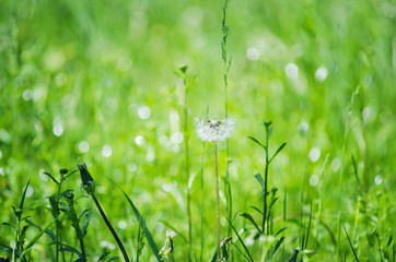 Green meadow grass, natural summer background. Selective focus.