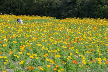 写真撮影をする女性のいるポピー畑