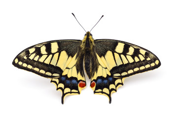 Old World Swallowtail (Papilio machaon) butterfly.