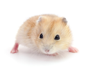Small domestic hamster.