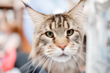 Maine Coon cat at exhibition of animals in hands