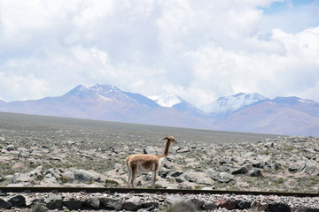 Vicuna in the Arequipa region, Peru