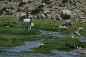 Wild Alpacas